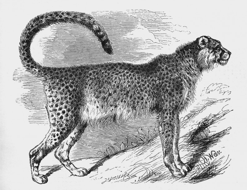 The majestic Asiatic Cheetah. Is your leadership method like a cheetah?