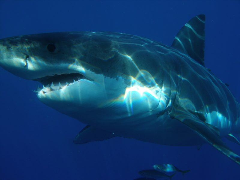 A great white shark baring its teeth. Does this resemble you?